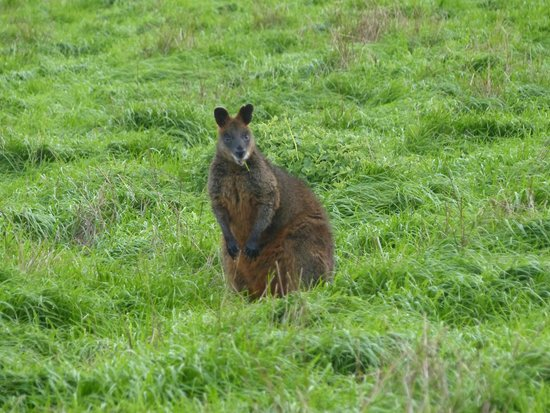 The Little Penguin Bus: Wallaby near Penguin Parade on Philips Island