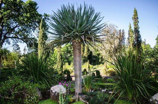 Palheiro Gardens: Dragon tree