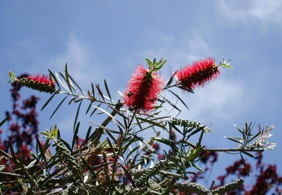 Palheiro Gardens: Bottle brush tree