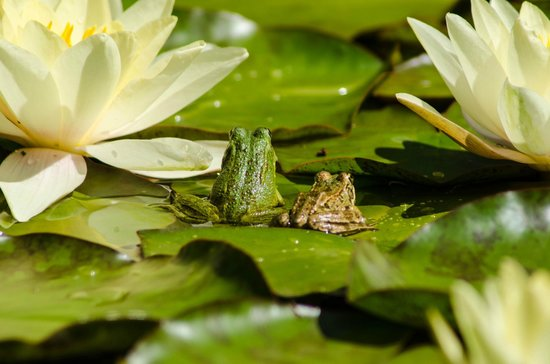 Palheiro Gardens: Frogs on the lily pads in the ponds
