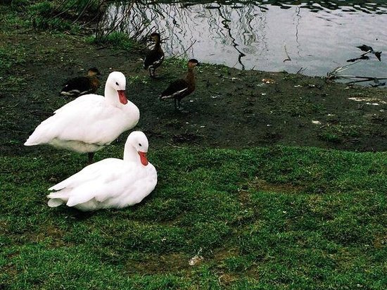 Hemker Park and Zoo: White ducks in an open enclosure