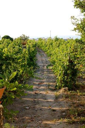 Santorini Wine Tour : grape vines