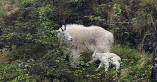 Orca Island Cabins: mountain goat on Dennis's boat tour