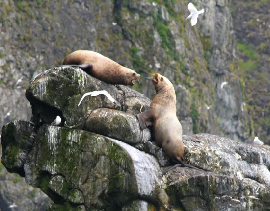 Orca Island Cabins: snippy sea lions
