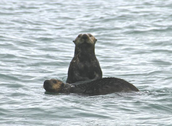 sea otter on the way to Orca Island Cabins
