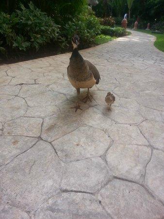 Iberostar Tucan Hotel : peacocks