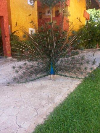 Iberostar Tucan Hotel : peacock