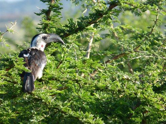 Machakos, Kenya: Hornbill