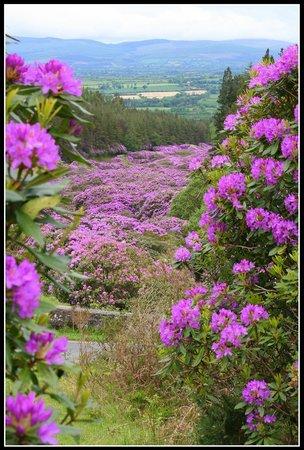 Knockmealdown Mountains: Blick über den Rhododendron.