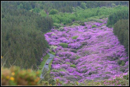 Knockmealdown Mountains: Ein Teppich in lila.