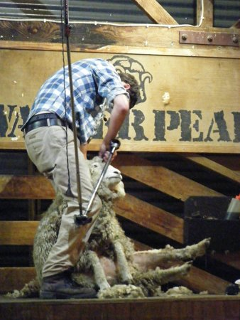 Real Journeys - TSS Earnslaw Vintage Steamship Cruises : Shearing demonstration at the station.