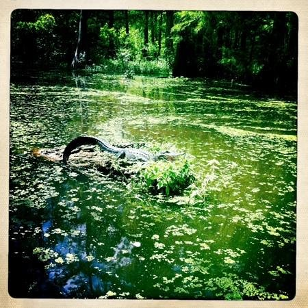 Champagne's Cajun Swamp Tours: we came across a small alligator
