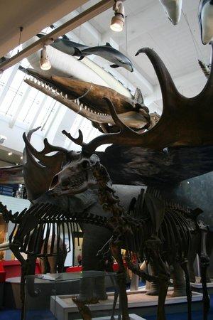 Natural History Museum: Irish elk/giant deer skeleton