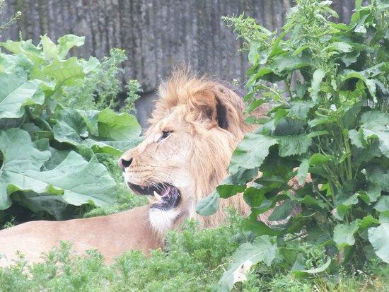 Copenhagen Zoo: Look what's lion around