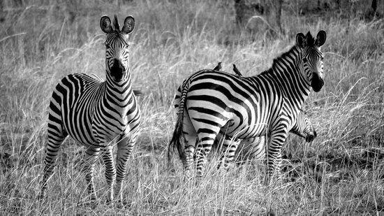 Nsolo Bush Camp - Norman Carr Safaris: Cebras