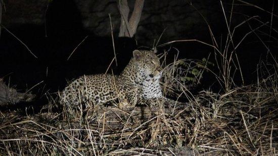 Luwi Bush Camp - Norman Carr Safaris : Leopardo (South Luangwa)