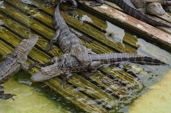 Gatorland: Baby Gators