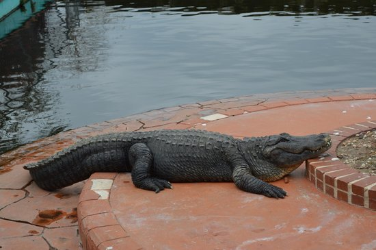 Gatorland : He was catching some rays!