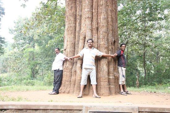 Parambikulam Wildlife Sanctuary: Connemera Teakwood tree