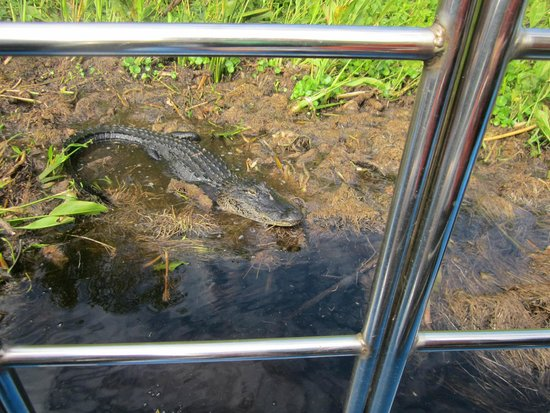 Tom and Jerry's Airboat Rides: Picture of alligator out in the airboat
