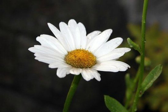 Daisy Hill Bed and Breakfast : Daisies