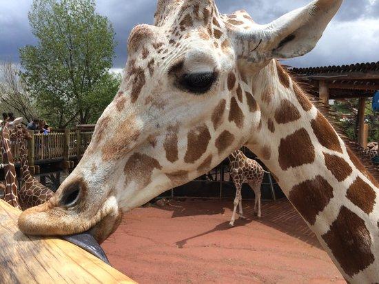 Cheyenne Mountain Zoo: Feed the giraffes