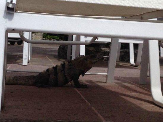 Presidente Inter-Continental Cozumel Resort & Spa : Lots of iguanas