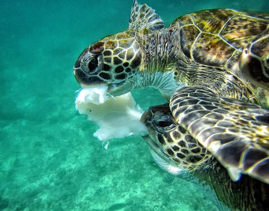 Daymaniyat Islands Nature Reserve: Two sea turtles are sharing the remains of a cuttlefish.