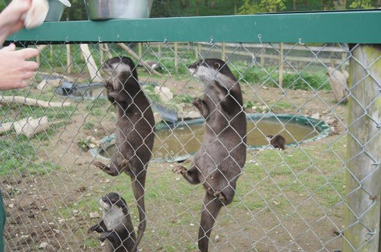 Tamar Otter and Wildlife Centre: Asian Otters feeling hungry!
