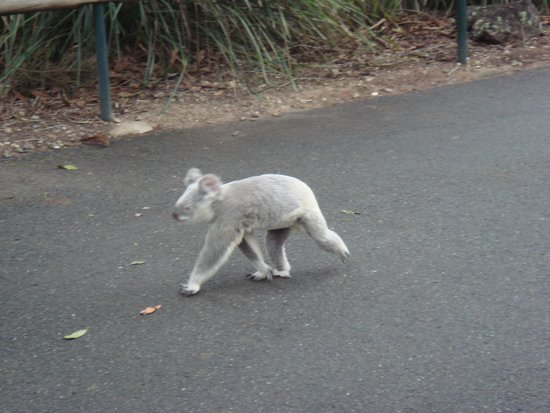 Australia Zoo : koala on the run