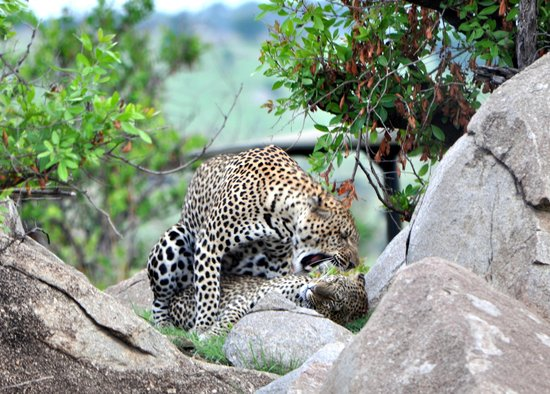 Lemala Kuria Hills Lodge : Mating Leopards