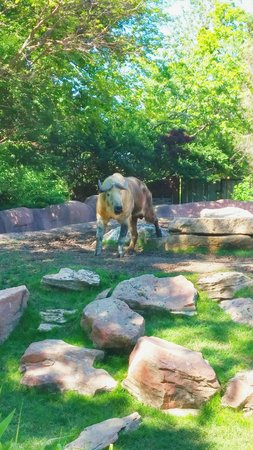 St. Louis Zoo : The rare & beautiful Takin.