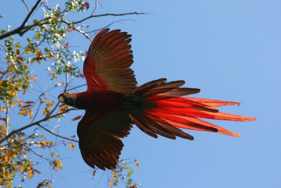 Blue Osa Yoga Retreat and Spa : Scarlet Macaw arriving