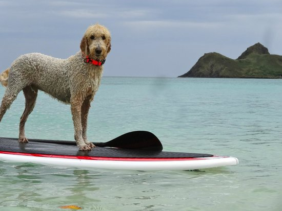 Lanikai Beach: Dogs love the beach and paddle boarding too
