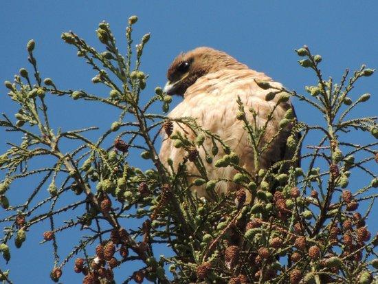 Rancho Santa Ana Botanic Garden : hawk