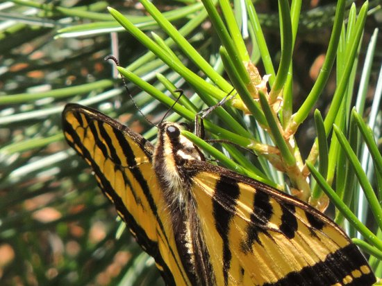 Rancho Santa Ana Botanic Garden : butterfly that I spotted outside of the pavilion