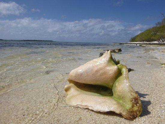 Jardines De La Reina: Conch on the beach in the Gardens of the Queen