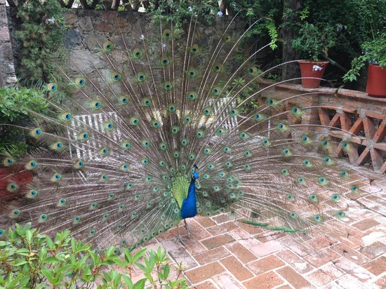 Antigua Villa Santa Monica: Peacocks!