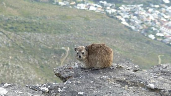Table Mountain: A Rock Dassie