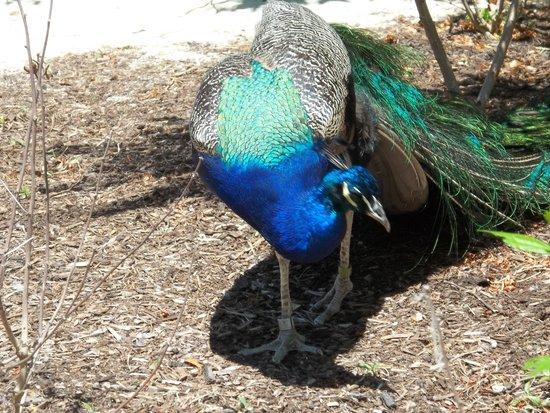 Fort Wayne Children's Zoo: Peacocks run loose through the zoo.