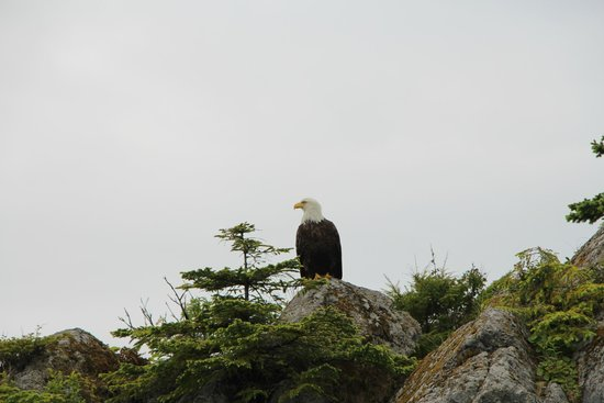 Sitka Sound Ocean Adventures: Bald eagle
