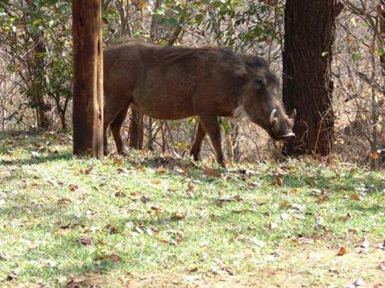 Lokuthula Lodges: Warthogs make great dinners