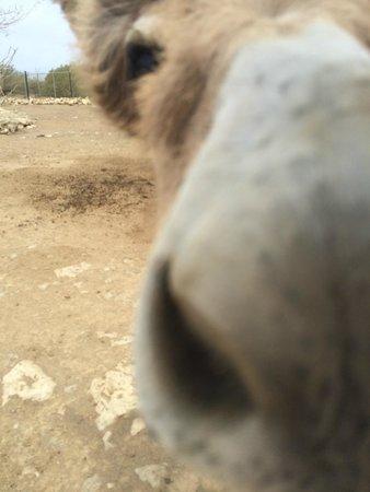 Donkey Sanctuary Bonaire: Donkey nose