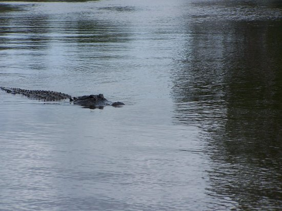 Captain Jack's Airboat Tours: Alligator