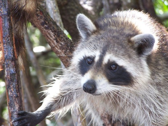 Captain Jack's Airboat Tours : Colse up view of a raccoon.