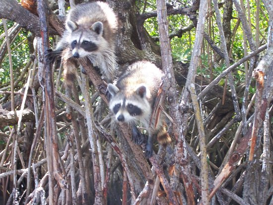 Captain Jack's Airboat Tours : More raccoons.