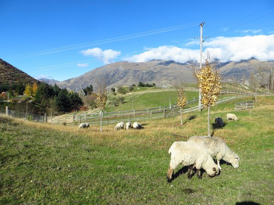 Arrowtown Bike Hire: Sheep grazing