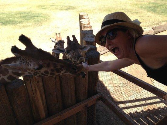 Wildlife World Zoo and Aquarium: Loved feeding the Giraffes!