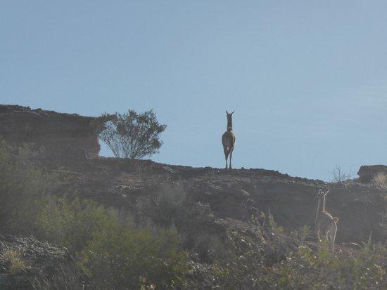 Parque Nacional Talampaya: guanaco