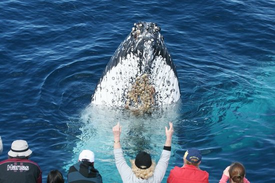 Spirit of Gold Coast Whale Watching: Spyhop! What an amazing behaviour!
